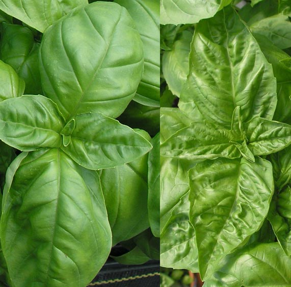 What is the difference between 'Nufar' & 'Genovese' Basil?
