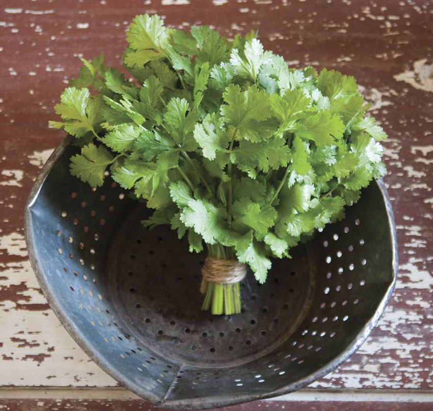 Tips for growing Cilantro!