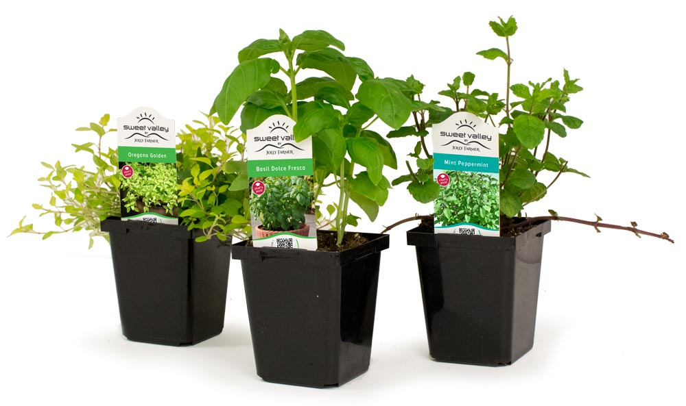 Re-potting your Sweet Valley herbs